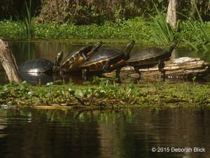 Ichetuckneee River, Ichetucknee, Ich, turtles, cooters