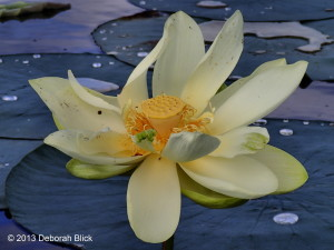 Prairie Creek, Newnans Lake, water lily