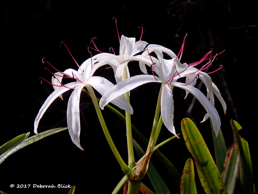 String Lily, also called Swamp Lily (Crinum americanum) on Baird Creek
