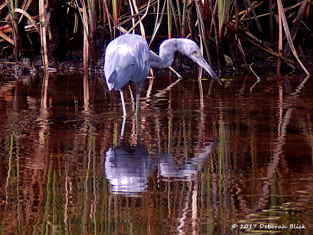 Immature Little Blue Heron (Egretta caerulea) on Baird Creek