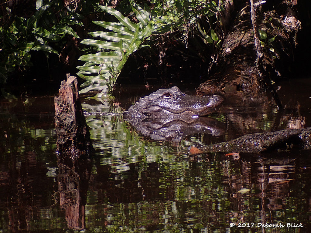 Well-fed gator in his little cove.