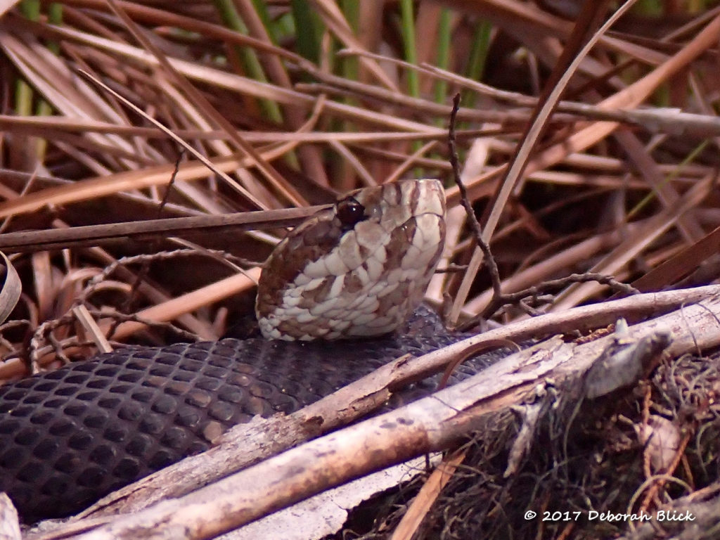 Water Moccasin (Agkistrodon piscivorus) on Baird Creek