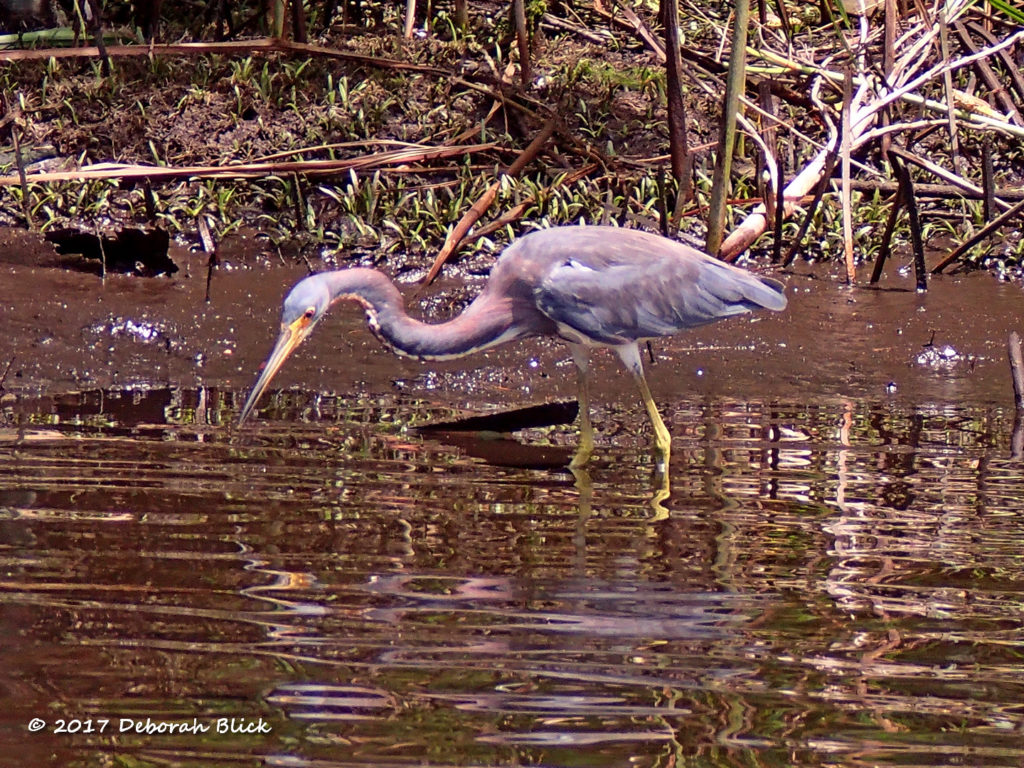 Tricolored Heron (Egretta tricolor) on Salt Creek