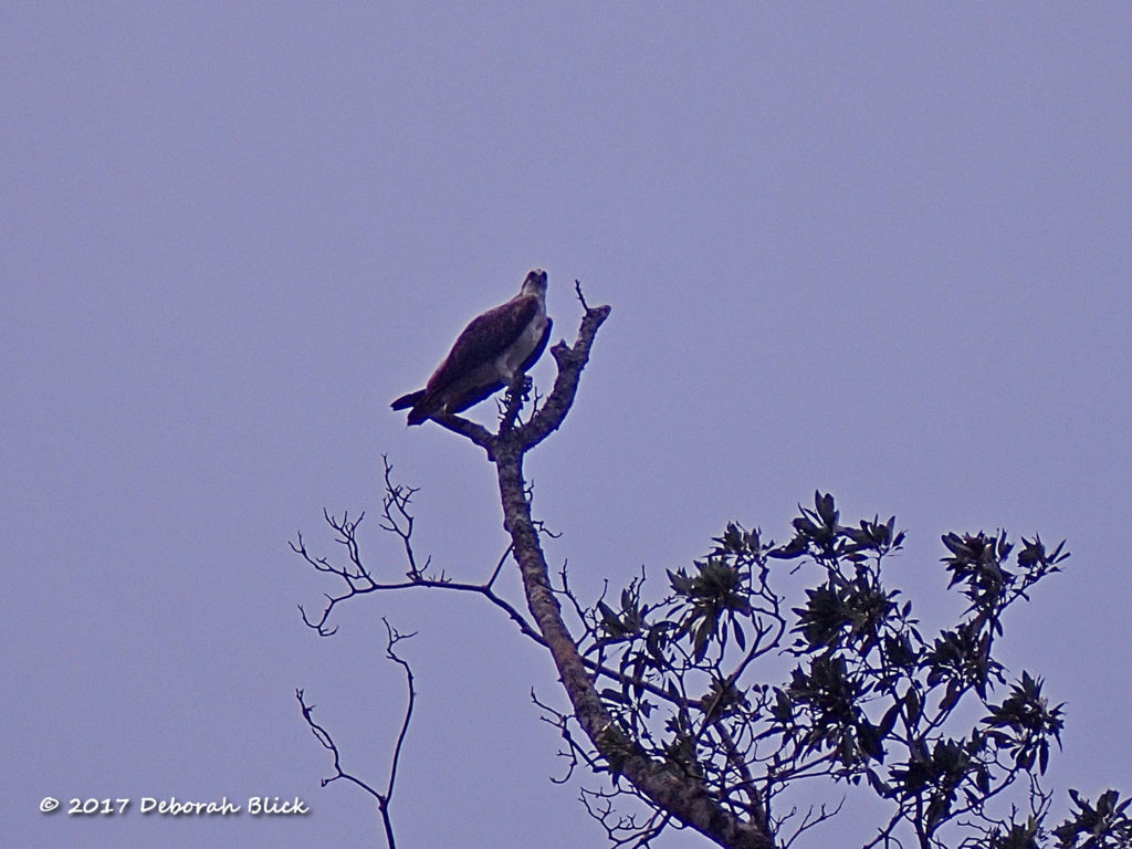 Osprey (Pandion haliaetus) on Salt Creek