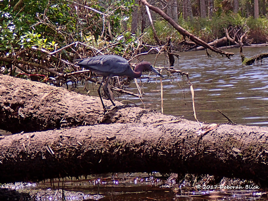 Little Blue Heron (Egretta caerulea) on Salt Creek