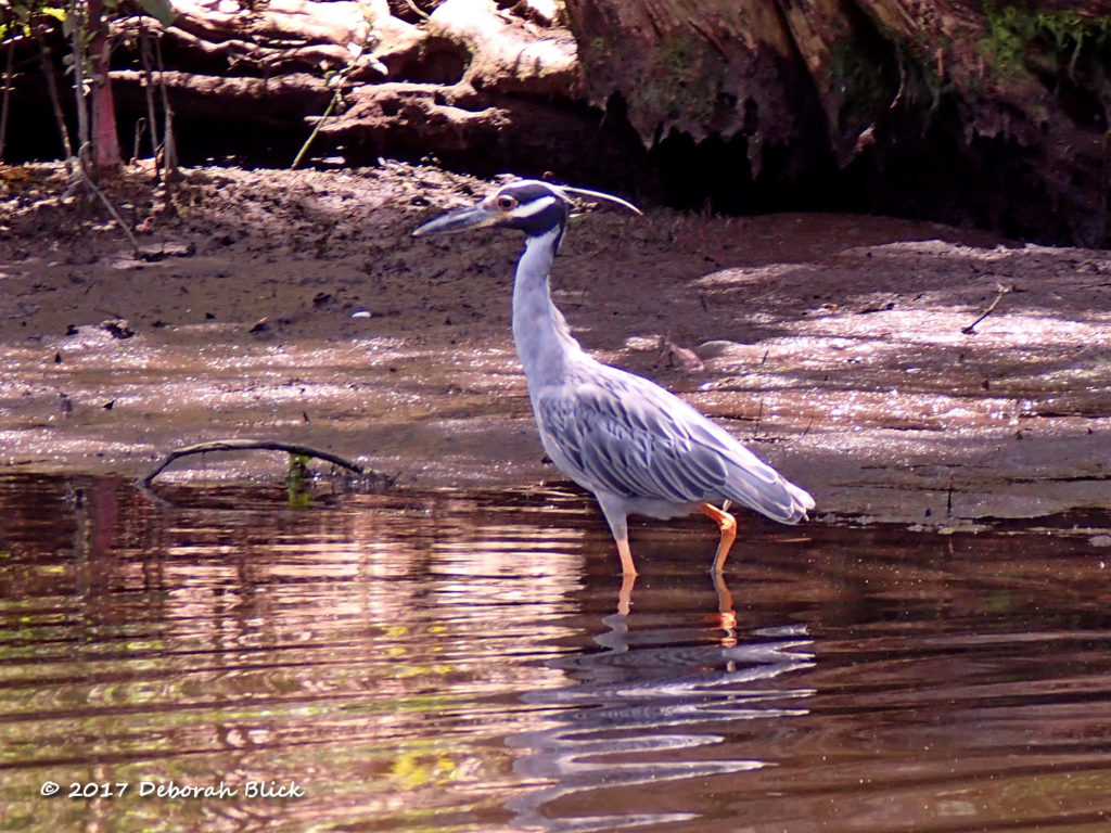 Yellow-crowned Night Heron on the Chaz