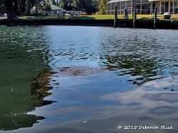 Manatee in canal