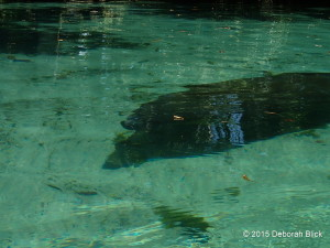 Manatee in spring