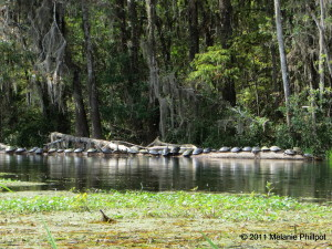 Turtle, Ichetucknee River