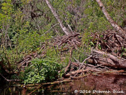 Beaver lodge on the Ich. Once exterminated in Florida, beavers are gradually moving back in.