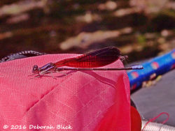 Damselfly - one of thousands attracted to the brightly colored kayaks.