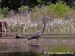 Great Blue Heron (Ardea herodias) and Cooter (Pseudemys spp)