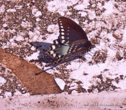 Eastern Black Swallowtail (Papilio polyxenes) puddling on the Last Takeout steps