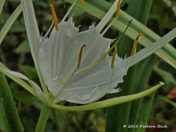 Alligator Lily (Hymenocallis palmeri) also called spider lily