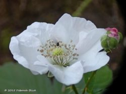 Southern blackberry (Rubus trivialis) blossom. One of 3 native blackberry species in Florida