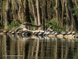 A 'bale' of turtles. They come out of the cold water to sun on the logs to warm up and to rid their shells of algae.