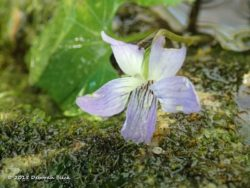 Common Wood Violet (Viola sororia)