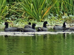 "A ""cover"" of American Coots (Fulica americana)"