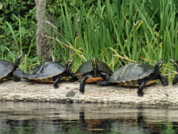 A turtle convention. You see loads of Cooters (Pseudemys spp) along the Ich. The water is cold - around 72 degrees - so the turtles need to get out onto the logs to warm up