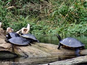 Cooter, Turtle, Ichetucknee River