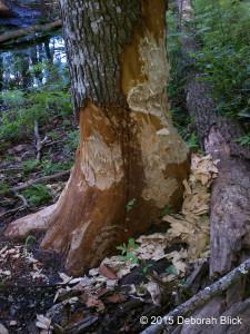 Beaver activity on the Ichetucknee