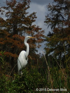 Great Egret, Ichetucknee River