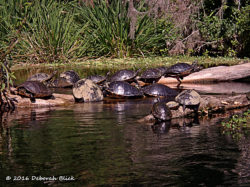More turtles on Saturday than on the Wednesday trip- all of them Cooters.