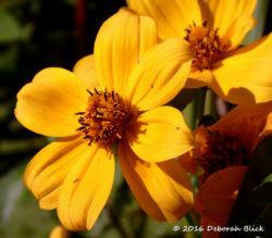 Bur Marigold (Bidens spp)