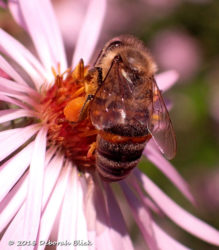 Honey bee on Late Purple Aster