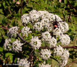 Great Golden Digger Wasp on a Water Hemlock head
