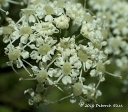 Closeup of Water Hemlock blossoms