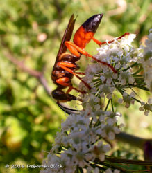 Great Golden Digger Wasp on a Water Hemlock