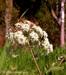 Several Great Golden Digger Wasp on Water Hemlock