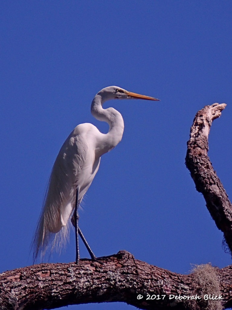 Great Egret with breeding aigrettes flowing down the back