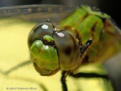 Close up of either an Eastern Pondhawk (Erythemis simplicicollis) or Great Pondhawk (Erythemis vesiculosa) dragonfly that landed on a yellow kayak paddle