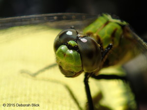 Dragonfly, Juniper Creek