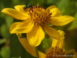 Female sweat bee (Agepostemon, probably splendens) on a Bur-Marigold. Agepostemon are solitary, ground nesting bees. Very gentle and good pollinators.