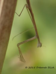 Nymph instar of preying mantis. I shot 30 pics of this little guy (about 3 inches long) but since he wouldn't hold still I only got 2 shots in decent focus.