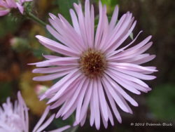 Closeup of Late Purple Aster (Symphyotrichum patens)