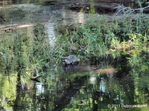 Raccoon, Procyon lotor, Juniper Springs