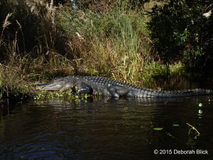 Gator, alligator, Juniper Creek