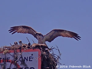 Adult Osprey cooling down babies