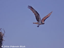 Adult osprey leaving nest to take cool water plunge.