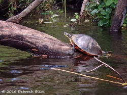 Florida Red-bellied cooter - Pseudemys nelsoni