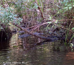 Little gator in the bushes.