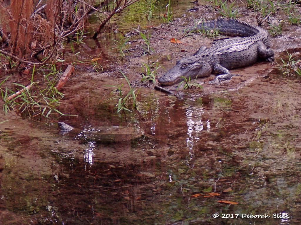 Snapping turtle and sleepy gator