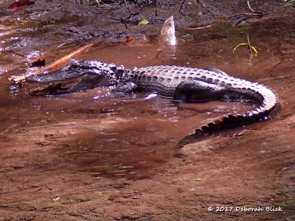 Little gator - about 5 feet - catching a fish. One snap, a couple of gulps, and it was gone.