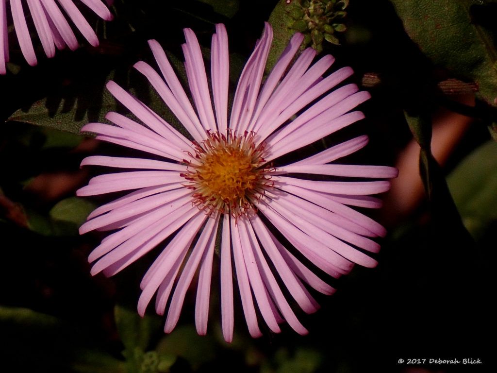 Late Purple Aster - a favorite fall wildflower