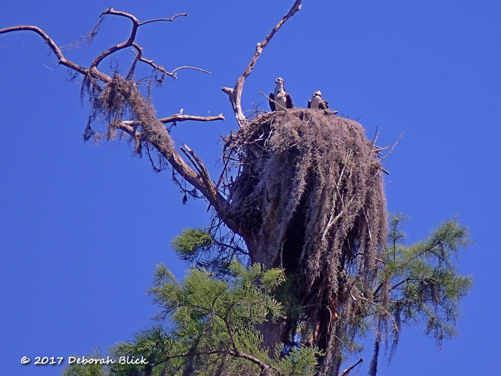 Osprey nest with a pair of adults