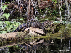 Baby Gator, Ocklawaha River, Alligator